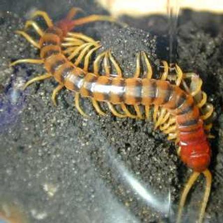 centipede[1].jpg