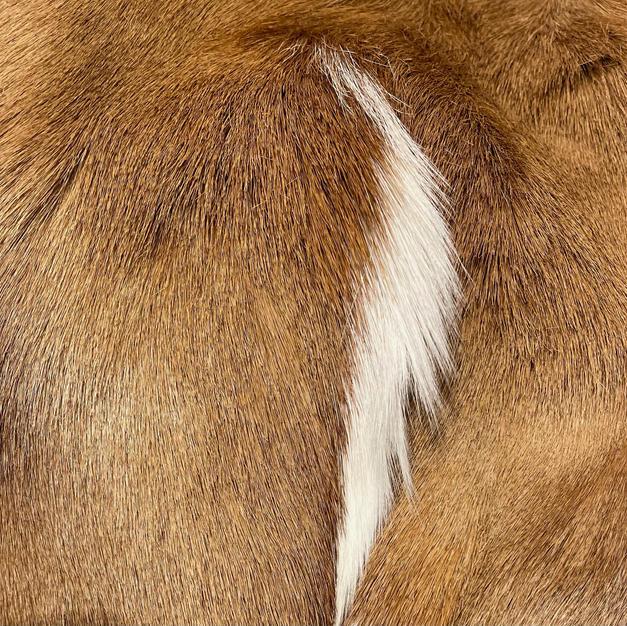 Antelope Brown
