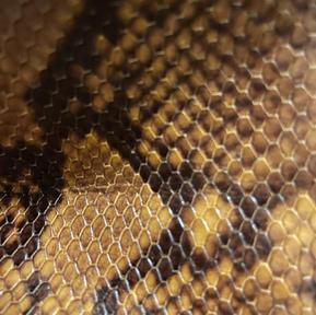 Snake Rust