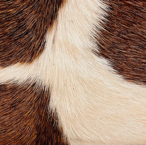 Hair on Saddle Tan and White (ivory)