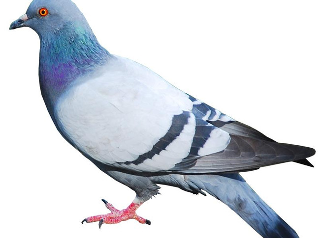 Swann reveals overall scale of new rates relief for pigeon clubs