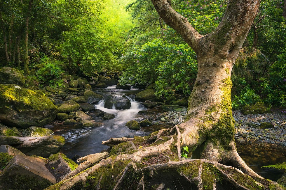 A tree along the Owengarriff River in Killarney National Park, Ireland