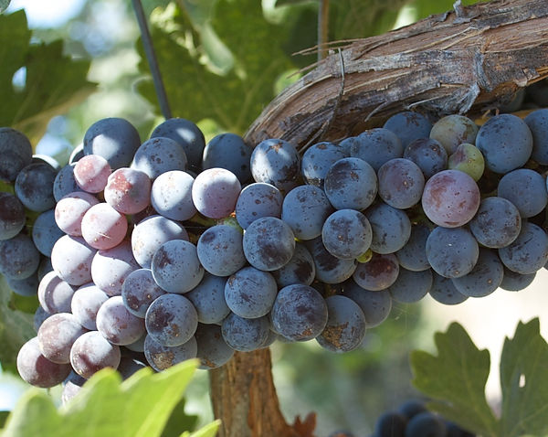 Types of wine made in Santa Ynez Valley