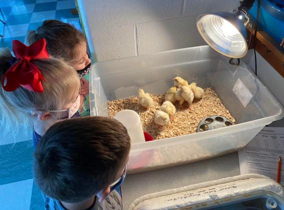 Chickhatching pic 4-3.2021.jpg