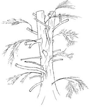 Ch 2 No 2 Pollarded yew tree 300.jpg