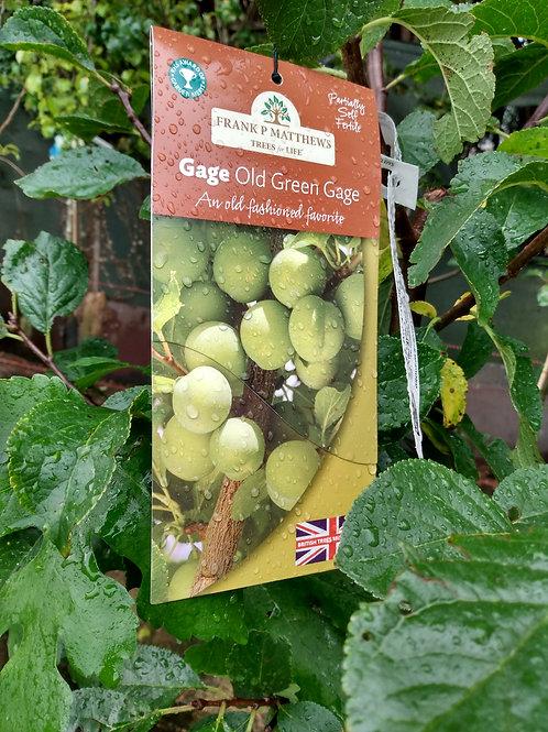 Gage (Prunus) 'Old Green Gage'