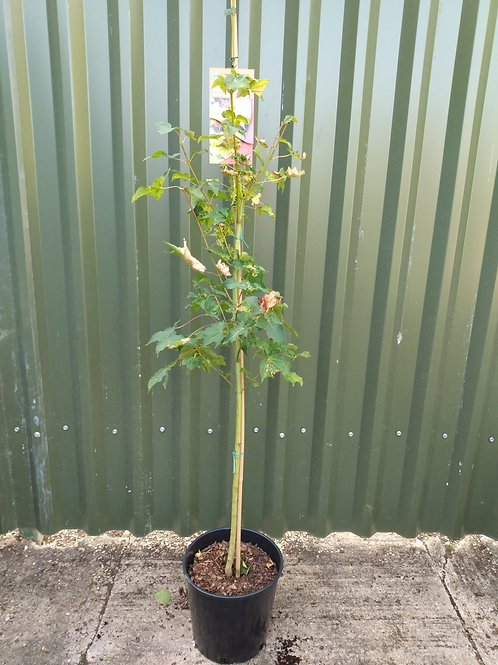 Acer 'Aureum' (Golden Maple)