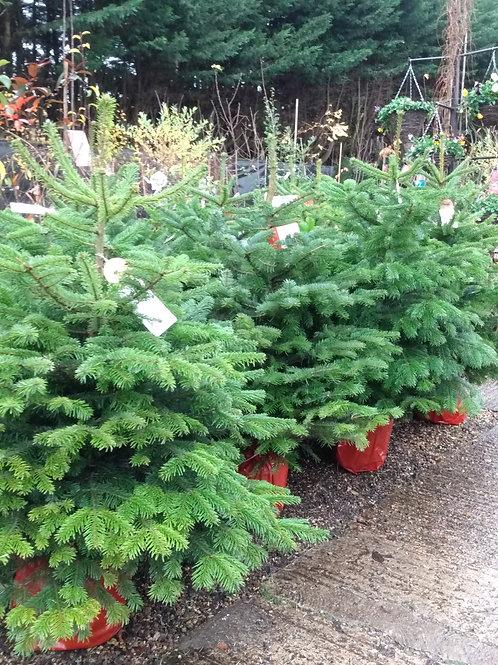 Pot grown Christmas tree - Nordmann