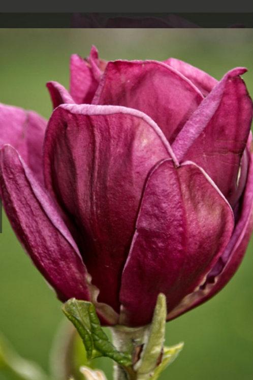 Magnolia 'Genie'