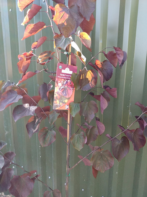 Cercis 'Forest Pansy' (Redbud)