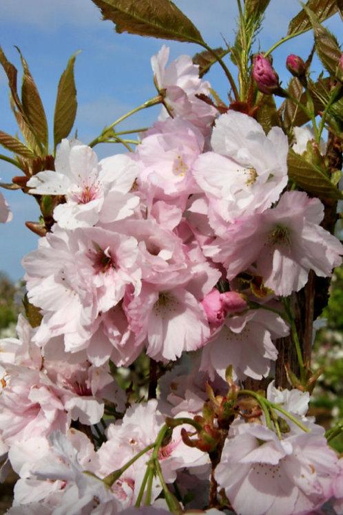 Prunus 'Amanogawa'  (flagpole cherry)