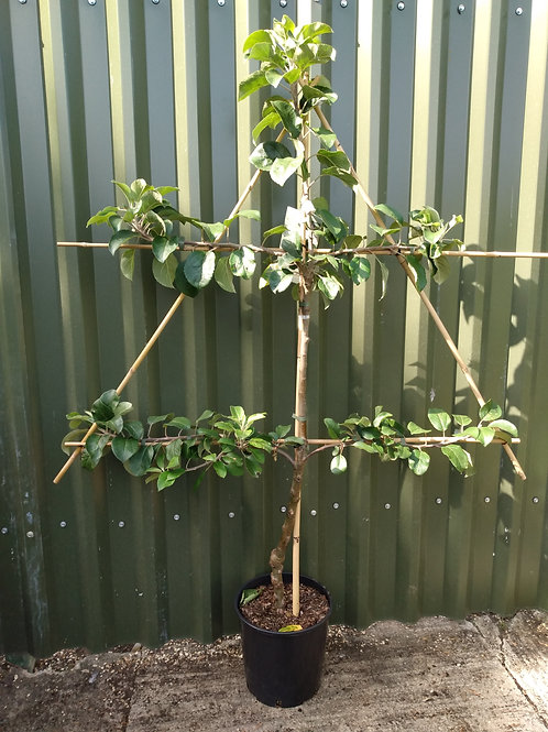 Apple (Malus) 'Christmas Pippin'