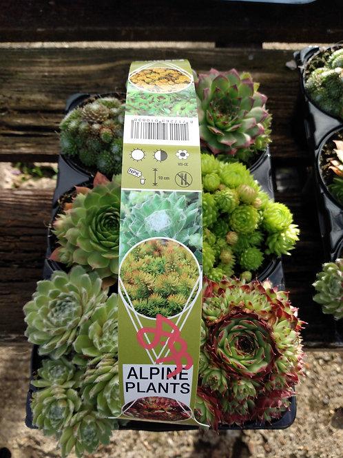 Alpine plants x6