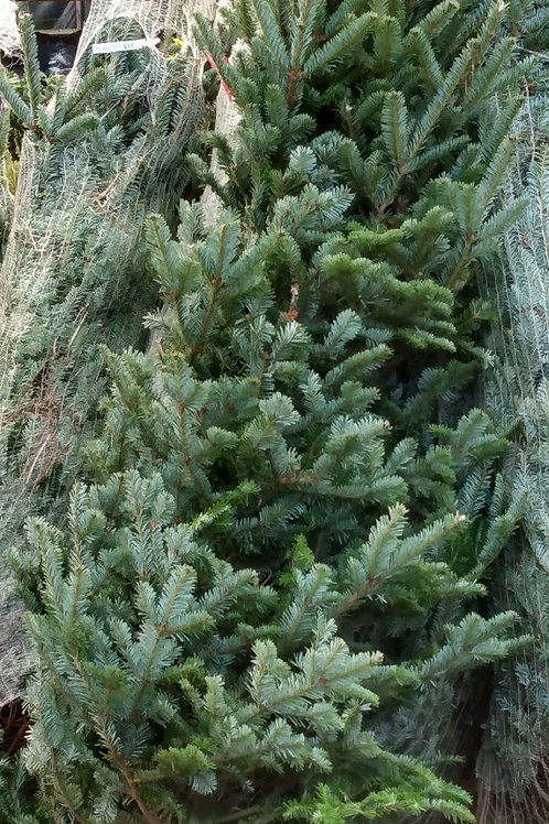 Fraser fir Christmas tree. 200cm