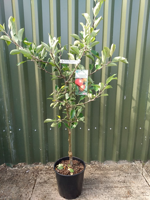 Apple (Malus) 'Red Falstaff'