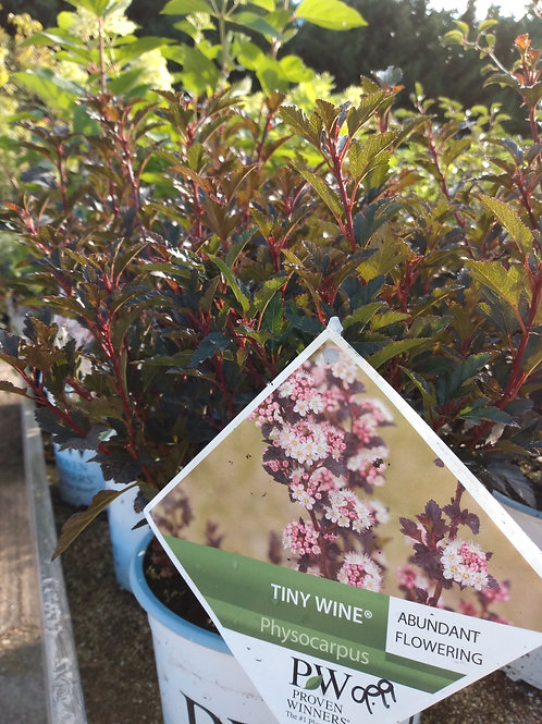 Physocarpus 'Tiny Wine'