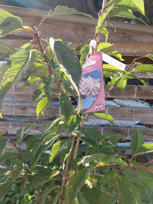 Prunus 'Gyoiko' (Flowering cherry)