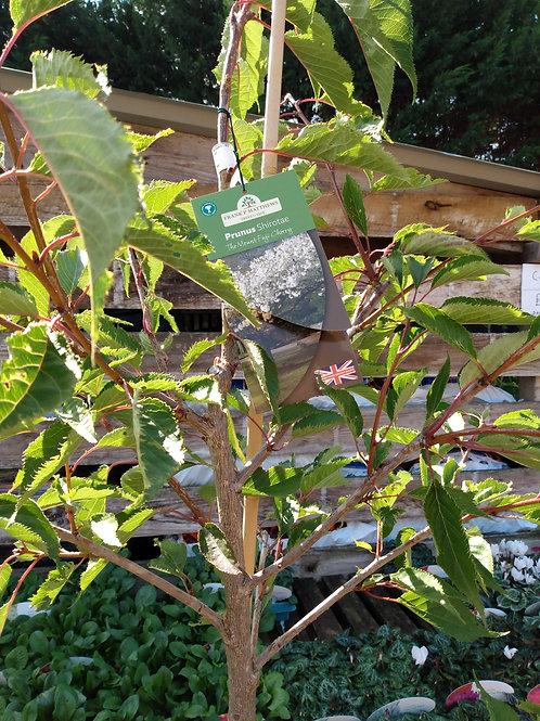 Prunus 'Shirotae' (Flowering cherry)