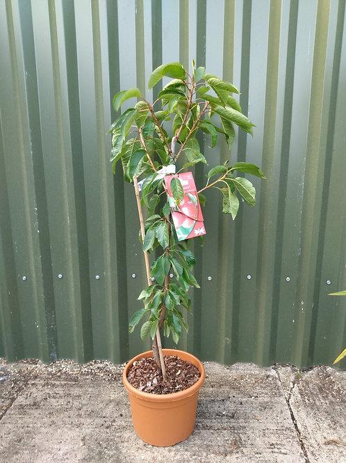 Cherry (Prunus) 'Celeste'
