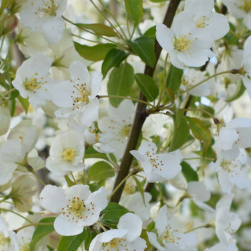 Malus 'Wedding Bouquet' (Crab apple)