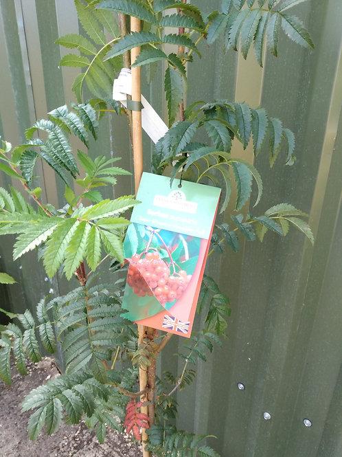 Sorbus aucuparia (Mountain Ash)