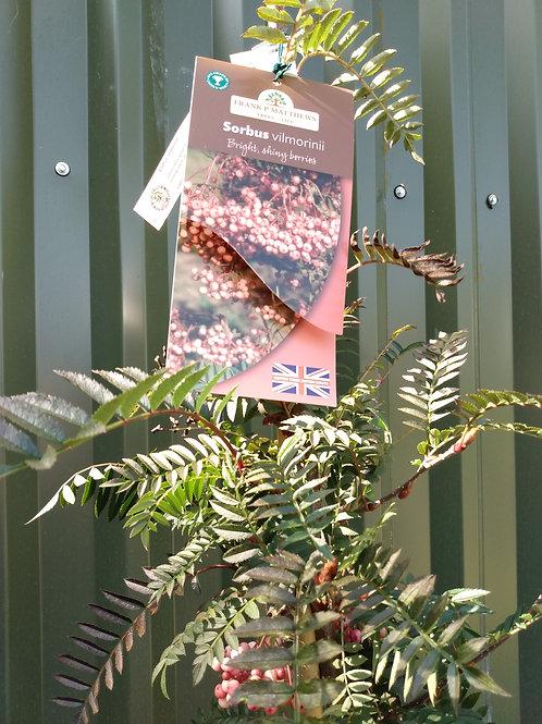 Sorbus vilmorinii (Mountain Ash)