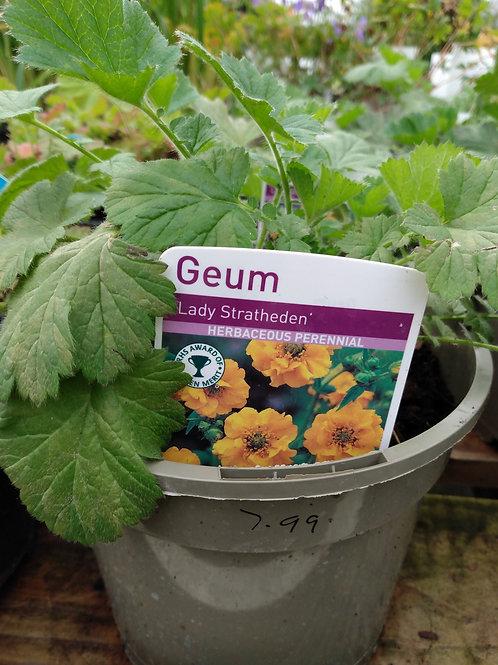 """Geum """"Lady Stratheden'"""