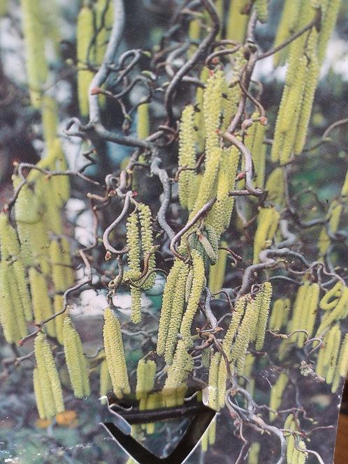 "Corylus avellana ""Contorta' (Corkscrew hazel)"