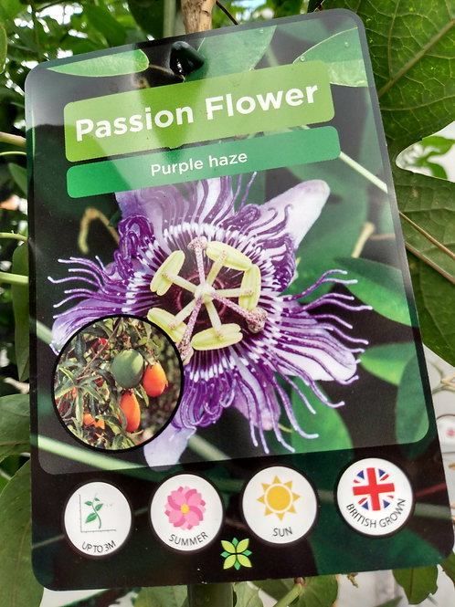 Passiflora 'Purple Haze' Passion flower