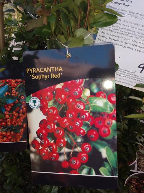 Pyracantha 'Saphyr Red'