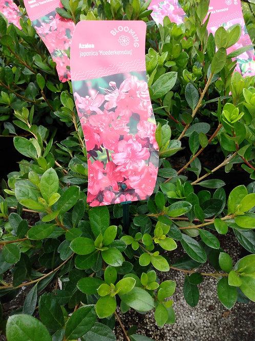 Azalea japonica 'Moederkensdag'
