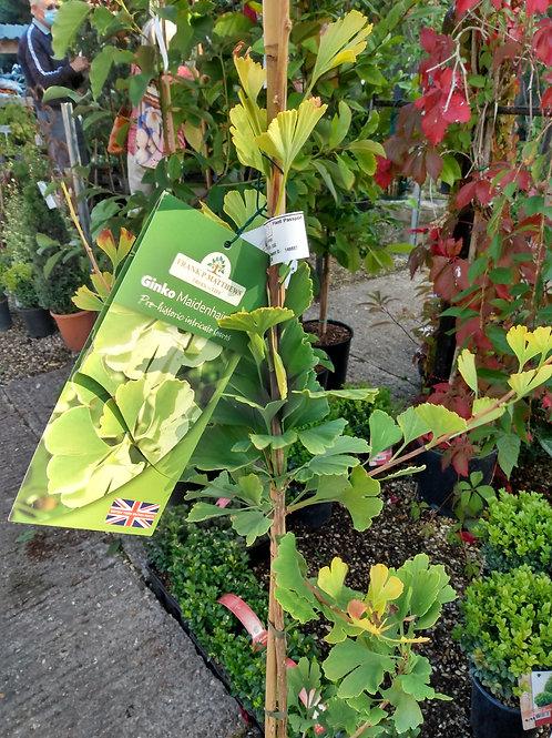 Ginkgo biloba 'Menhir' (Maidenhair tree)
