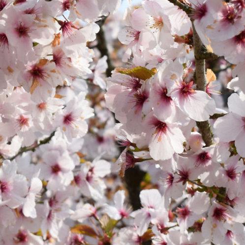 Prunus 'The Bride' (Flowering cherry)