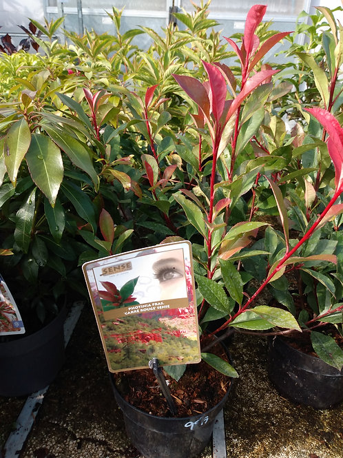 Photinia 'Carre Rouge'  (Red Robin)