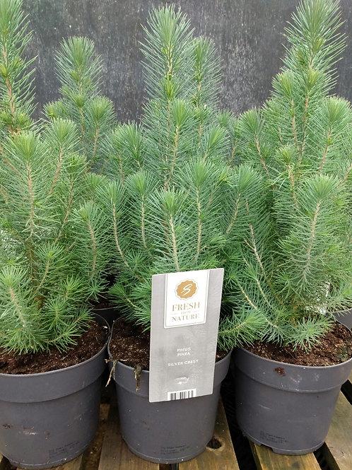 Pinus pinea 'Silver Crest'