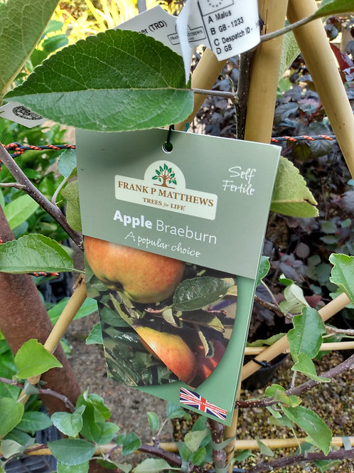 Apple (Malus) 'Braeburn'