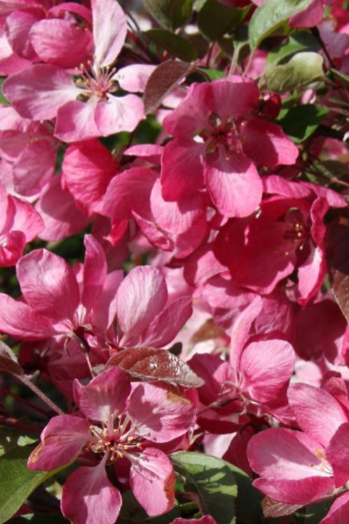Malus 'Indian Magic' (Crab apple)