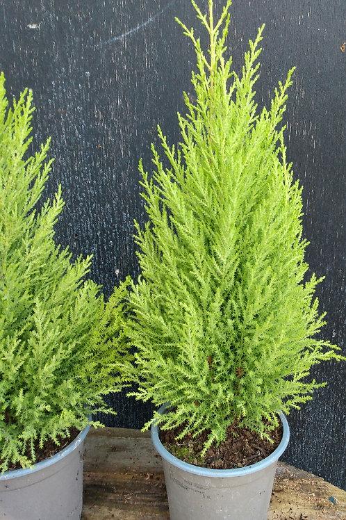 "Cupressus macrocarpa ""Goldcrest'"