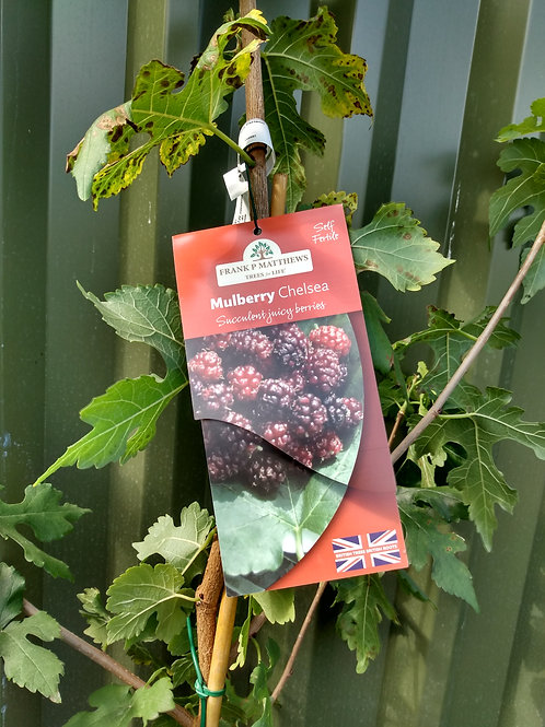 Mulberry (Morus) 'Chelsea'
