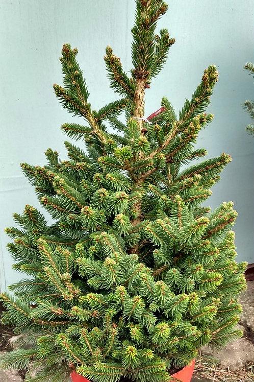 Mini Christmas tree - Picea abies