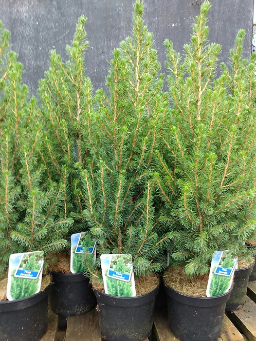 Picea glauca  'December'