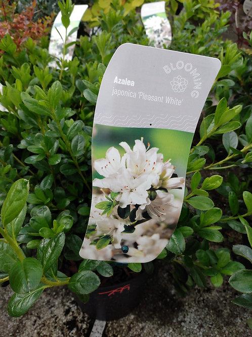 Azalea japonica 'Pleasant White'