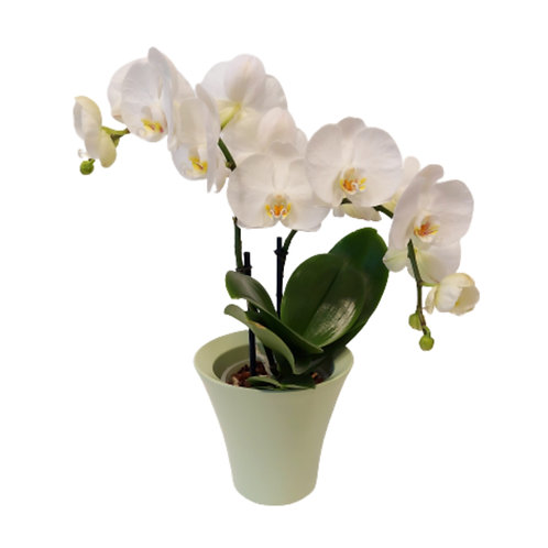 Edle Orchidee in Weiss