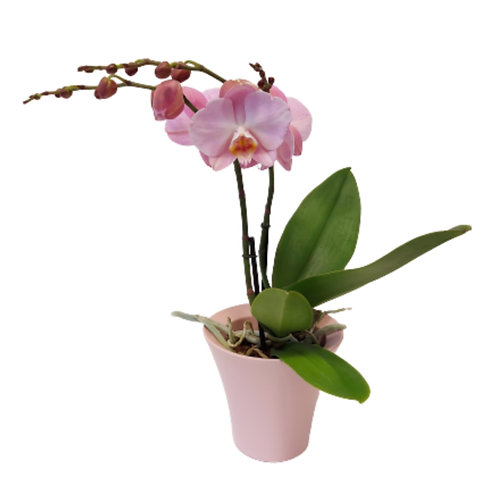 Edle Orchidee in Rosa