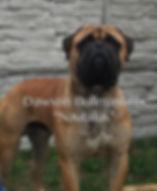 Bullmastiff show dog