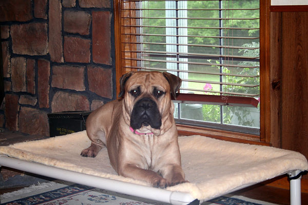 bullmastiff puppy for sell; bullmastff puppy for sale; bullmastiff puppy; bullmastiff puppies