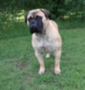 bullmastiff puppy for sell
