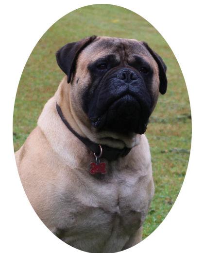 bullmastiff puppy for sell; bullmastff puppy for sale; bullmastiff puppy; bullmastiff puppies