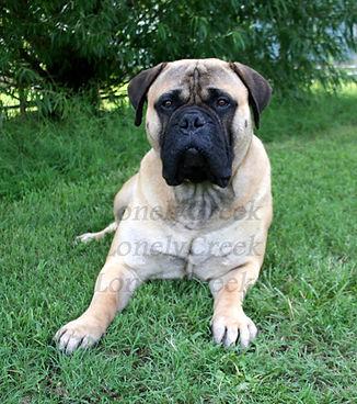 bullmastiff guard dog
