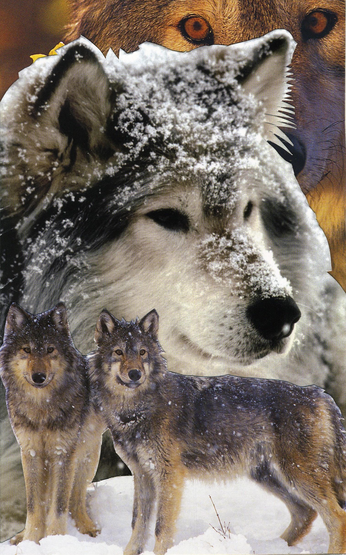 12 Wolf 3rd chakra.jpg